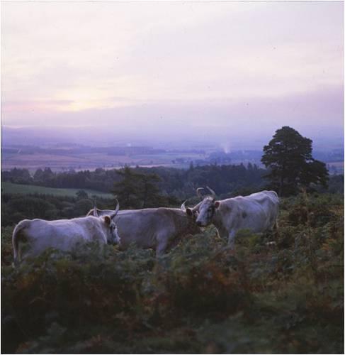 wild-cattle