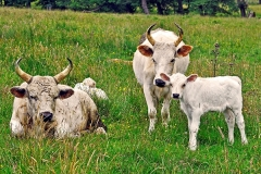 ThePark-Image-Cattle