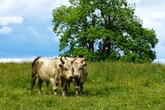ThePark-Image-Cattle2