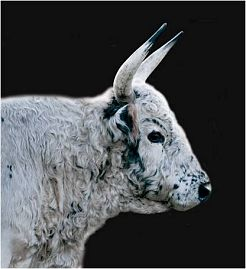 content-2-3-portrait bull
