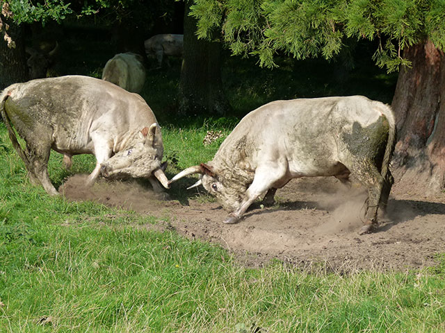 Fighting Wild Cattle